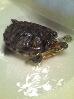 洗面台で泳ぐミドリガメのドリーさん